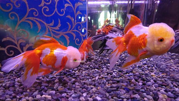 DSC_金魚