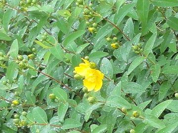ヒペリカムヒデコートの花