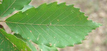 コナラの葉が、一番似ている