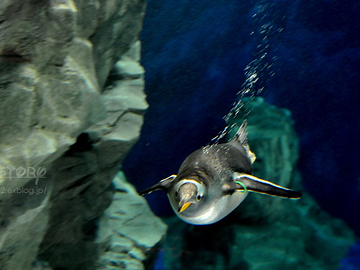 男鹿水族館・ジェンツーペンギン