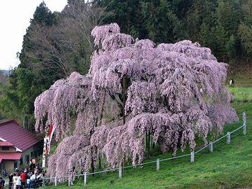 ベニシダレザクラの巨木(樹齢1,000年超)