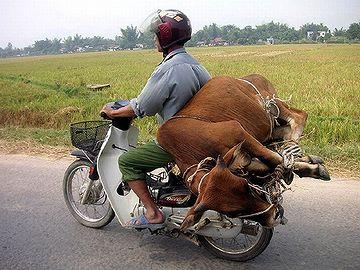 ベトナムの運び屋。生きた牛も、カブで運びます。