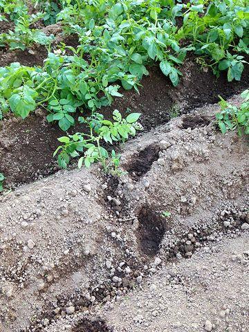じゃがいも畑に踏みこんだイノシシの足跡