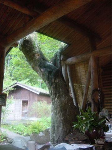 なまはげ館のとなり「道楽亭」・生きてる木がにょっきり