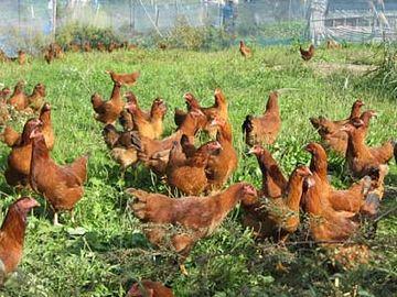 比内地鶏・自由に歩き回れる状態で飼われてなきゃダメ