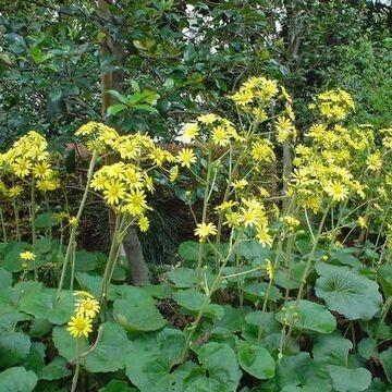 晩秋に開くツワブキの花