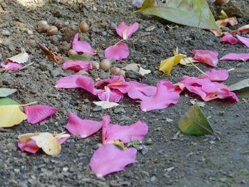 花びらがバラバラに散ります