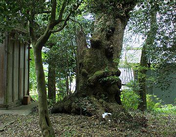 香取五神社のタブノキ(滋賀県長浜市)