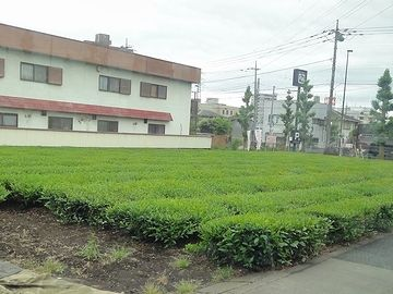 これは、お茶畑
