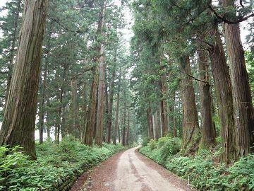 日光の杉並木とか、スゴく太くて真っ直ぐよね