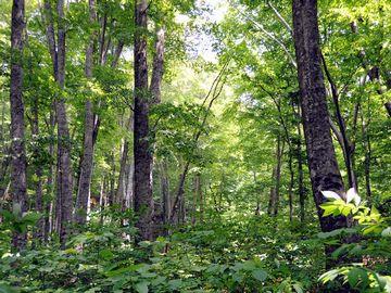 白神山地の原生林