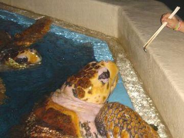桂浜水族館のアカウミガメにエサやり
