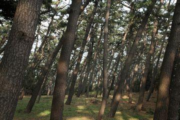 村人たちは、綿を村境の松林に隠しましたが……