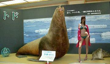 このトドは、絶滅種の化石から復元したもの。体長4.9m、体重3tだそうです。
