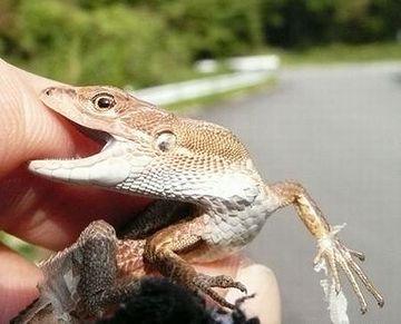 黒目の周りが金色なのが、カナヘビの特徴。ニホントカゲは、黒一色です。