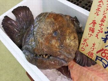 哀れ、浦安の魚市場で売られる『オオカミウオ』くん