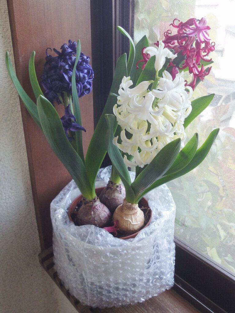開花したヒヤシンス