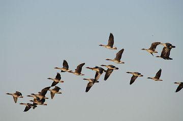 オオヒシクイは、時速100キロで10時間連続して飛べるそうです