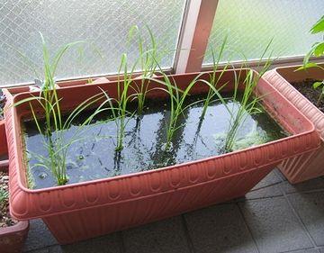 玄米を撒くと、簡単に芽が出てきます