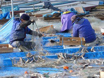 刺し網からハタハタを外す作業(八森漁港)