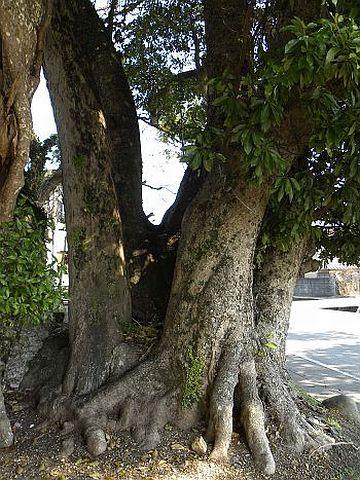 野槌神社の大タブ(高知県香南市)