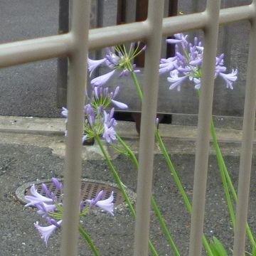 鉄柵の中に、可憐な花(アップ)