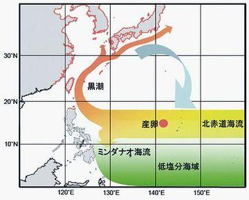 北赤道海流に乗って西に向かい、フィリピン沖で黒潮に乗り換えて北上してくるわけです