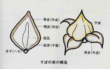 蕎麦の実の構造