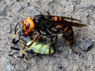 哀れ、スズメバチにとっつかまった女郎蜘蛛