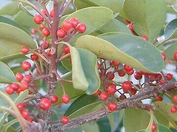 「クロガネ」の由来は、枝が黒っぽい