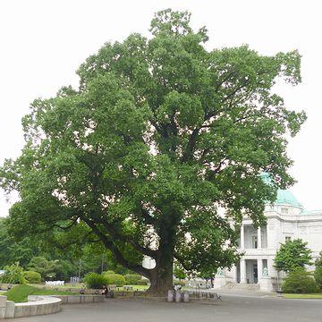 『東京国立博物館』の本館前に巨木