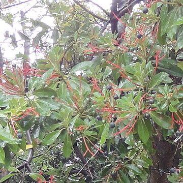 タブノキの花茎