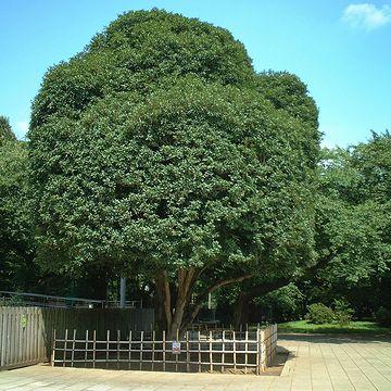 小金井の『江戸東京たてもの園』の入り口に立ってるキンモクセイ
