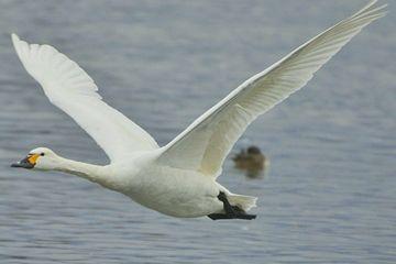 白鳥なら、白いイメージ