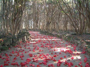 墓の周りは、椿の林になった