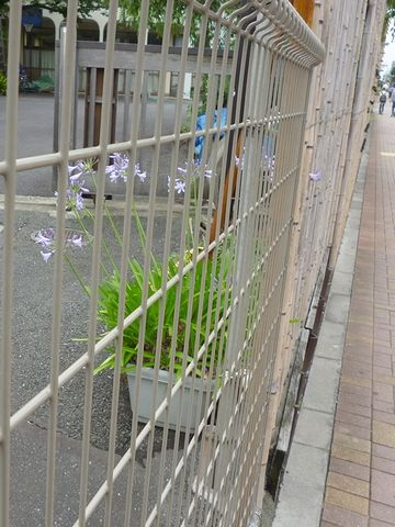 鉄柵の中に、可憐な花