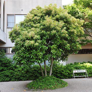 株立(かぶだち)と言って、たくさんの幹を寄せた樹形は素敵です