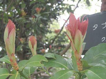 タブの新芽は真っ赤