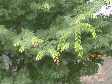 梅雨時なので、徒長枝が伸びてます
