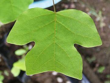 葉っぱが、半纏の形