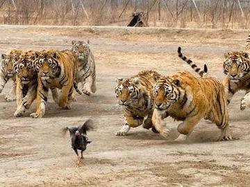 トラの群れに追いかけられるニワトリ