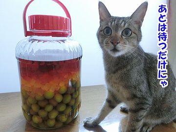 梅酒を待つネコ