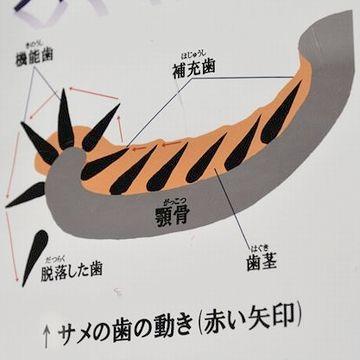サメの歯は、実に簡単に抜けるそうなんです