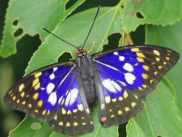 エノキは、国蝶オオムラサキの食樹でもあります