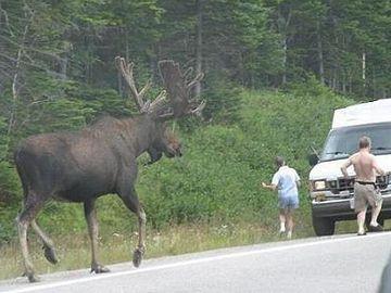 へら鹿(ムース)。デカいです。肩高230㎝、体重800キロになるそうです。