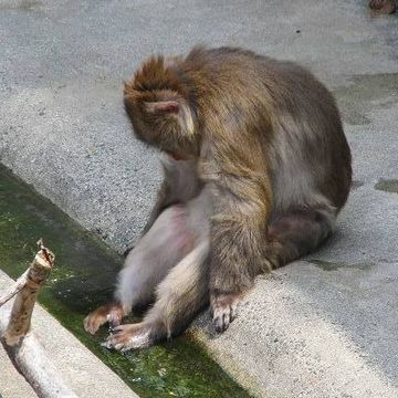 足湯ならぬ、足水で酷暑を耐える豊橋の猿
