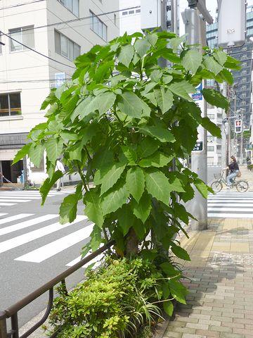 街路樹として植えられた木でしょうか?