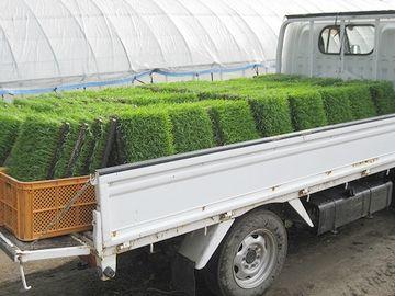 稲をトラックに積んで、田んぼまで運び……
