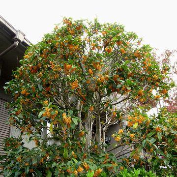 キンモクセイは、民家の庭に、よく植えられています