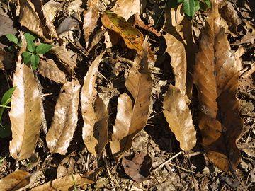 落ち葉は、クヌギなどの落葉広葉樹が良い